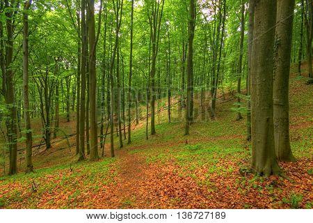 Beech forest (Fagus sylvatica). Poland, Holy Cross Mountains.