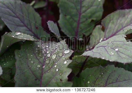 Detail on rain drops on violet kohlrabi leaves in garden