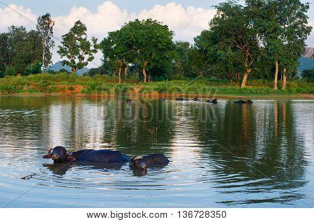 asian buffalo swimming in a pond Khajuraho India.