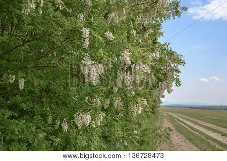 Blossoming Flowers Of Black Locust (robinia Pseudoacacia) Hanging On Tree Branch In Springtime