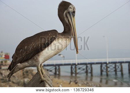 Peruvian Pelican (Pelecanus thagus) at the fish market in the UNESCO World Heritage port city of Valparaiso in Chile.