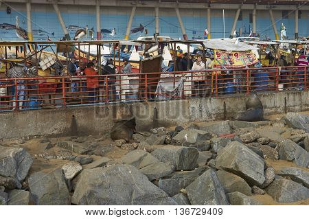 VALPARAISO, CHILE - JULY 1, 2016: American Sea Lions Otaria flavescens, gulls and pelicans hoping to be fed at the fish market in the port city of Valparaiso in Chile.