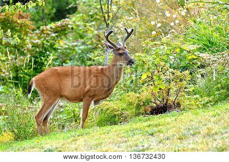 A young black tailed deer with two point velvet antlers standing in a grassy area.
