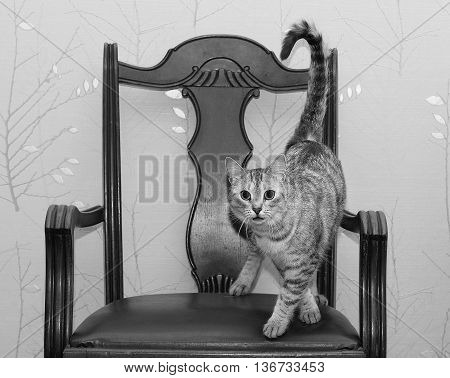 Cat dancing on a chair, funny photo of domestic cat on old style chair, playful cat