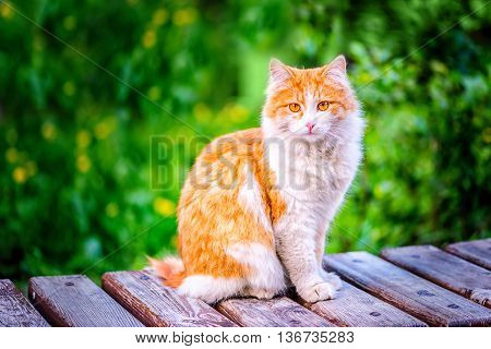 beautiful red funny hobo cat sitting on rustic wooden background and green grass close up