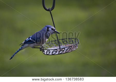 Bluejay foraging for food around a backyard bird feeder in late Spring