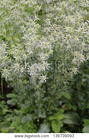 Feverweed Eringium (Eryngium) - herbaceous plants Umbrella