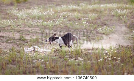 Coursing. Dogs Whippet finish lacks the lure. Camomile field on a sunny day
