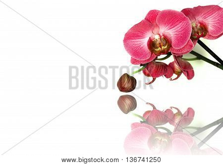 colorful phalaenopsis orchids isolated on white background.