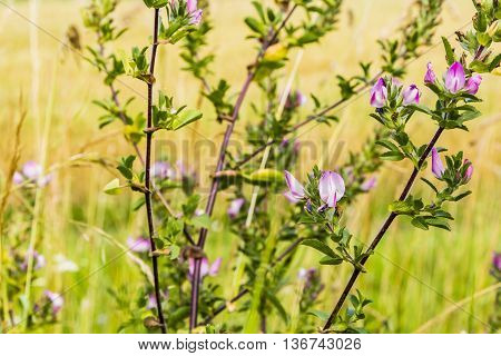 Subshrub - Ononis Spinosa L..