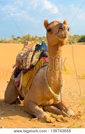 A camel on the Sam Sand Dune Jaisalmer Thar Desert India