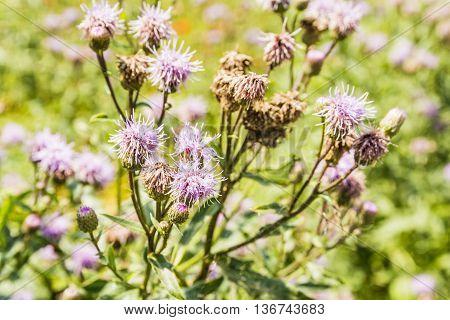 Cirsium Arvense (l.) Scop..