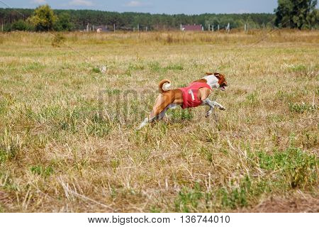 Coursing. Basenji Dog In A Red T-shirt Running
