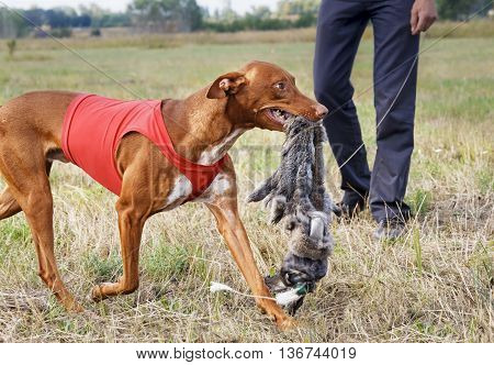 Coursing. Pharaoh Hound Caught Bait. Rabbit Skin