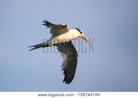 Royal tern (Thalasseus maximus) flying above Paracas Bay Peru. Paracas Bay is well known for its abundant wildlife.