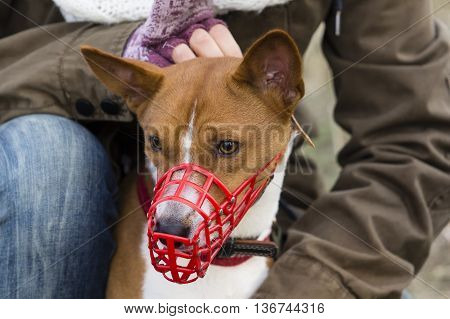 Basenji Dog In A Muzzle For Coursing
