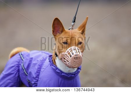 Basenji Dog In A Muzzle For Coursing. Early Spring