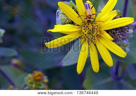A goldenrod soldier beetle (Chauliognathus pensylvanicus) climbs on the flower of a prairie rosinweed (Silphium integrifolium) plant in Shorewood, Illinois during the summer.