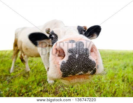 Curious amusing cow with funny big snout and natural background