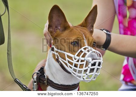 Basenji Dog In A Muzzle For Coursing.