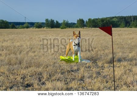 Coursing. Basenji Dog In A Field