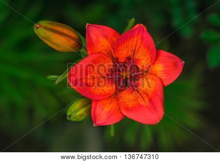 wild fire red flower with a bud on the summer green background