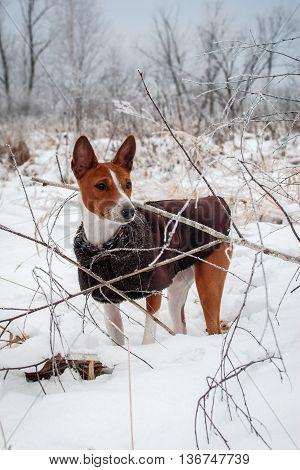 Basenji Dog. Walk Winter Forest
