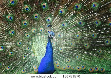 Beautiful peacock with spread feathers and tail.