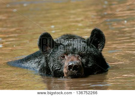 American Black Bear Swimming In A River