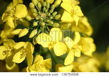 The closeup and top view of a blooming yellow rape flowers in sunlight.