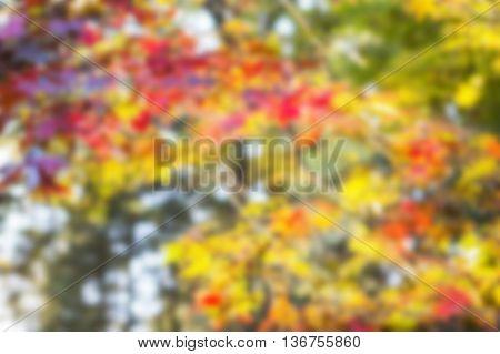 blur backlighting of maple leaf in japan