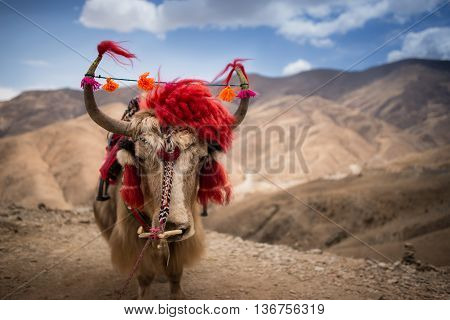 A yak decorated with Tibetan accessories in front of rocky background.