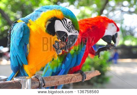 Two Colorful Macaws eating feed by their paws.