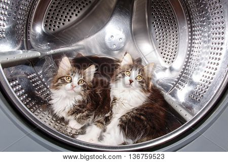 Two cute kittens hiding in the drum of the washing machine. Funny pet.