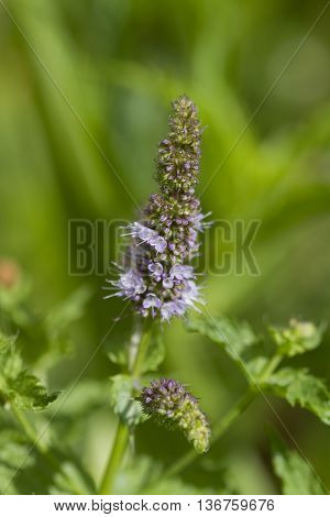 Perennial Spearmint Plant Lavender Purple Blossom Spike