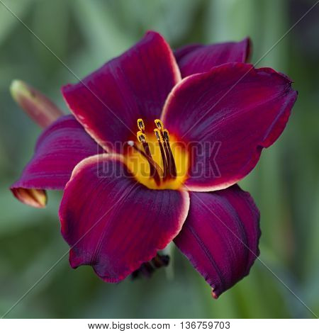 This is a rich deep colored burgundy wine daylily macro, hemerocallis