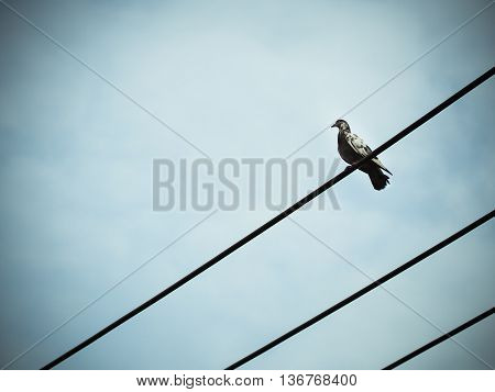 Color filter effect, Pigeon bird is sitting on the Electrical powered cable