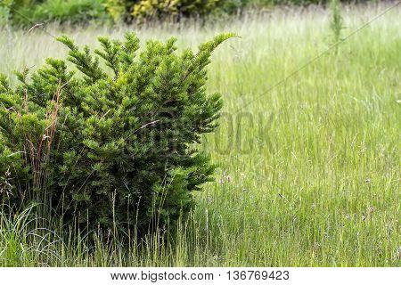 Pine In Meadow