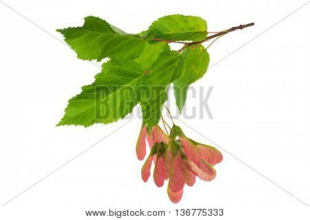 Maple branch with leaves and seed pods