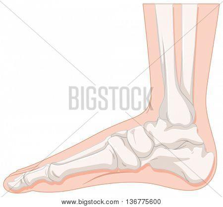 Foot bone of human illustration