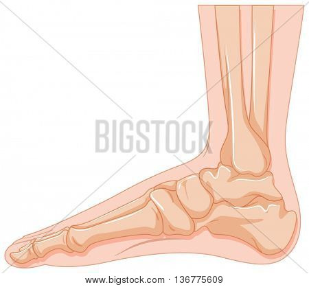 Human foot bone on white background illustration