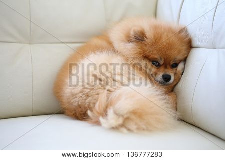 Pomeranian Dog Cute Pets Sleeping On White Leather Sofa Furniture