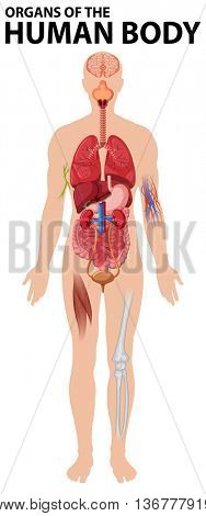 Diagram of organs of the human body illustration