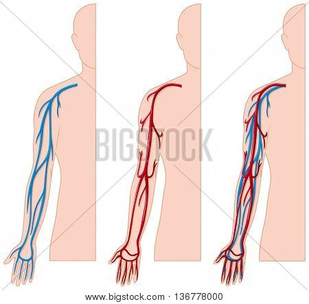 Blood vessels in human hand illustration