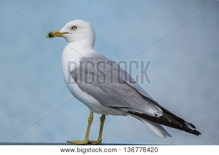 Ring-billed Seagull with water blurred out in the back ground