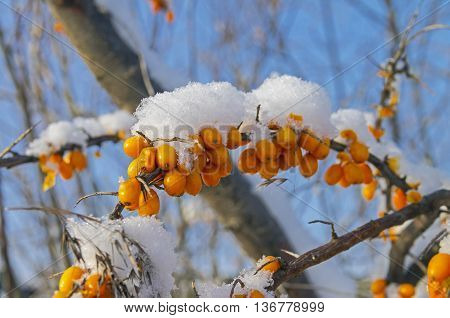 Snow covered berries on a bush of sea-buckthorn. Sunny winter day. Moscow suburbs Russia.