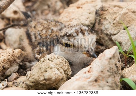 The Young Little Ringed Plover Disguise Beside Stone