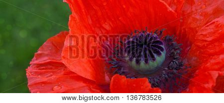 A macro shot of the red poppy.Close up of beautiful red poppy.