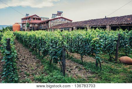 Napareuli Georgia - July 19 2015. Green vine grapes in vineyard located in Napareuli village