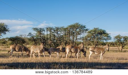 Burchell's Zebra family group in Southern African savannah